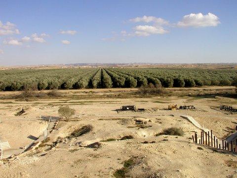 """תמונה של מטע הזיתים של שמן הזית """"נגבא"""" ברביבים, הממחישה את הצלחת גידולי   הזית בנגב היבש, בזכות הפיתוחים הטכנולוגיים של פרופ' לביא. (קרדיט: עזרא צחור)."""
