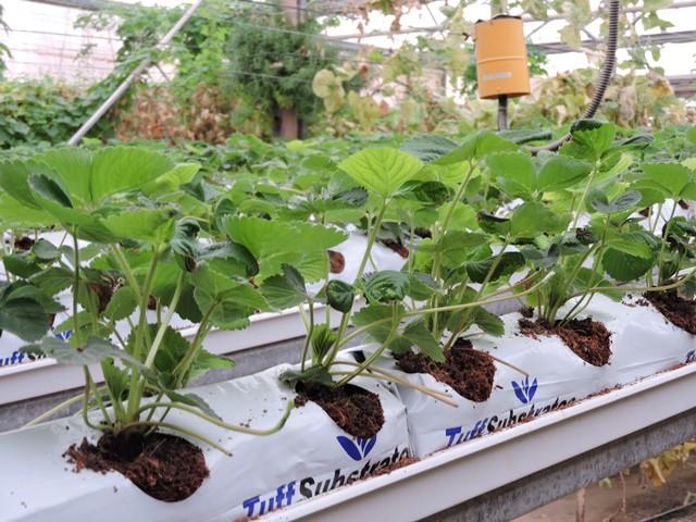 תות שדה הידרופוני
